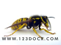 Wasp Side View Photo Image