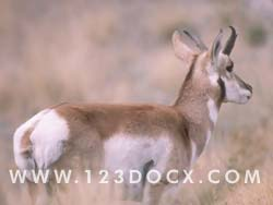 Antelope Photo Image