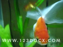 Goldfish Photo Image