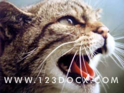 Wild Cat Photo Image