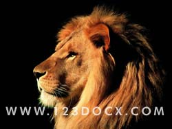 Lion Photo Image