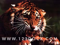 Tiger Growling Photo Image