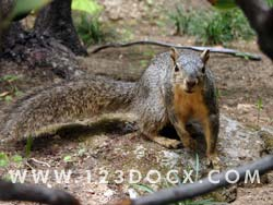 Grey Squirrel Photo Image