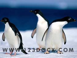 Penguins Photo Image