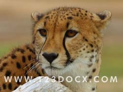 Cheetah Photo Image
