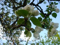 Apple Blossom Photo Image
