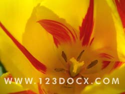 Yellow Tulip Flower Photo Image