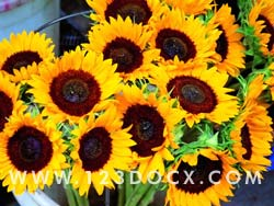 Sun Flowers Photo Image
