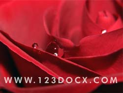 Crimson Red Rose Photo Image
